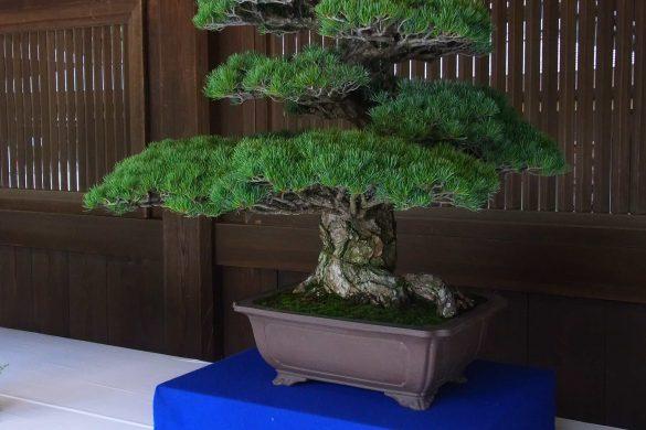 Meiji Bonsai for weekend reading